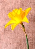 Yellow narcissus on sackcloth background Stock Photos