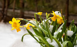 Yellow narcissus in snow. Stock Photo