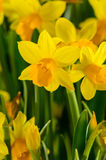 Yellow narcissus spring flowers Royalty Free Stock Images