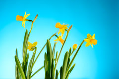 Yellow narcissus spring flowers on blue background Royalty Free Stock Photography