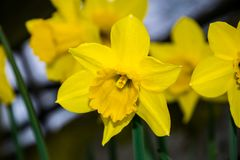 Yellow narcissus Narcissus poeticus royalty free stock photos