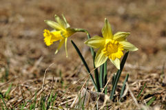 Yellow narcissus. On spring meadow royalty free stock photos