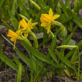 Yellow Narcissus Tete-a-Tete  is a group of Cyclamineus miniature in garden. Yellow Narcissus Tete-a-Tete Narcissus Tete-a-Tete is a group of Cyclamineus stock images