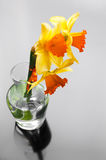 Yellow narcissus in vase on glossy background Royalty Free Stock Photos