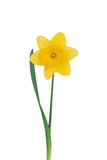 Yellow narcissus on a white Stock Image