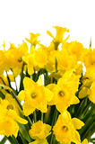 Yellow narcissus on white background spring flowers Stock Image