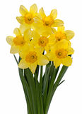 Yellow narcissus on white Royalty Free Stock Images