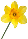 Yellow narcissus on white Royalty Free Stock Photos