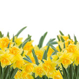 Yellow narcissus on white Royalty Free Stock Photography