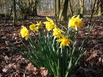 Yellow Narcissus in the wood Stock Image