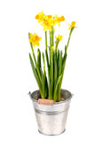 Yellow Narcissuses Royalty Free Stock Photography