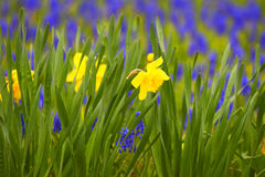 Yellow narcissuses. Background of a green grass. stock image