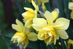 Yellow narcissuses. Stock Images
