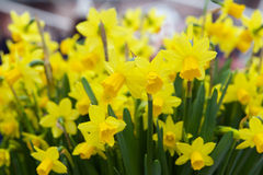 Yellow narcissuses in Keukenhof, Netherlands Royalty Free Stock Image