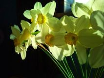 Yellow narcissuses in the spring sunshine Royalty Free Stock Images