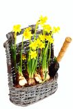 Yellow narcissuses in wattled basket Royalty Free Stock Images