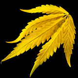 Yellow narcotic leaf in black background. The cannabis plant intended for use as a psychoactive drug and as medicine Royalty Free Stock Image