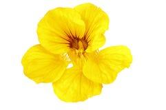 Yellow nasturtium Stock Photo