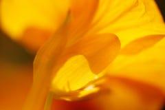 Yellow nasturtium Stock Image