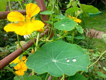 Yellow nasturtium flower with drops of dew Royalty Free Stock Photography