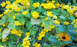 Yellow nasturtiums Stock Photo
