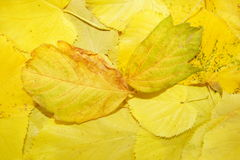 yellow natural background of fallen leaves Royalty Free Stock Photos