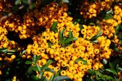 Yellow natural pyracantha royalty free stock photos