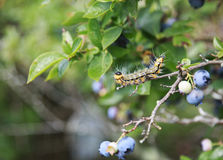 Yellow necked caterpillar in defensive posture Royalty Free Stock Photography