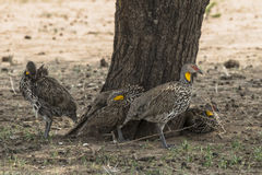 yellow-necked francolin Royalty Free Stock Photos