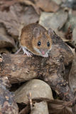 Yellow Necked Mouse Apodemus Flavicollis. Yellow Necked Mouse in deep leaf litter on forest floor royalty free stock photo