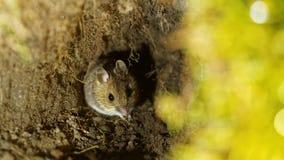 Yellow-necked mouse (Apodemus flavicollis) Stock Images
