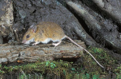 Yellow-necked mouse,  Apodemus flavicollis, Royalty Free Stock Image