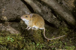 Yellow-necked mouse,  Apodemus flavicollis, Stock Photo