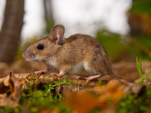 Yellow necked mouse in forest. Yellow necked mouse on forest floor Stock Photo
