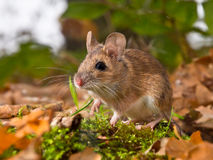 yellow necked mouse in forest Royalty Free Stock Photography