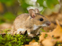 Yellow necked mouse in habitat Royalty Free Stock Image