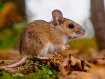 yellow necked mouse sideview Stock Images