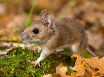 Yellow necked mouse walking. On forest floor Stock Photos