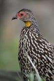Yellow-necked spurfowl Stock Photo