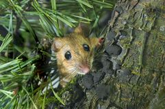 Yellow-necked Wood Mouse. A photo of yellow-necked wood mouse in nature Stock Images