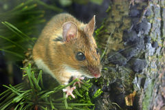 Yellow-necked Wood Mouse. A photo of yellow-necked wood mouse (Apodemus flavicollis Royalty Free Stock Photography
