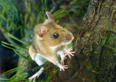 Yellow-necked Wood Mouse (Apodemus flavicollis). A photo of yellow-necked wood mouse (Apodemus flavicollis) in nature Stock Images