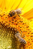 Yellow Nectar. Close-up of two bees sitting on yellow sunflower Stock Photo