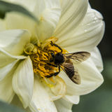The Yellow Nectar. The  morning duty for the bee Royalty Free Stock Photos