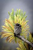 Yellow needles on a pine tree with a cone still on it Stock Images