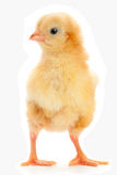 Yellow newborn chicken Royalty Free Stock Image