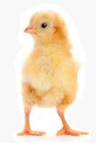 Yellow newborn chicken Royalty Free Stock Image