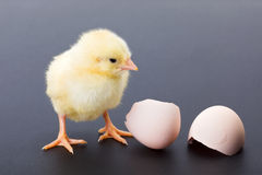 Yellow newborn chicken with egg shells Royalty Free Stock Image