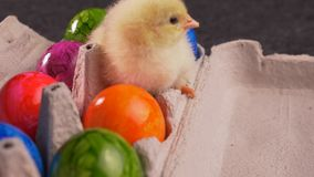 Yellow newborn chicken sitting in eggs carton full of colorful dyed easter eggs. Springtime holiday concept, close up, camera approach, zoom in stock footage