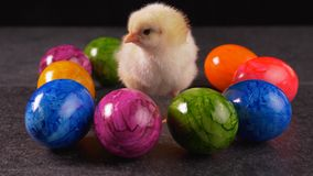 Yellow newborn chicken standing among colorful dyed eggs. Cheeping - easter concept, close up, static camera stock video